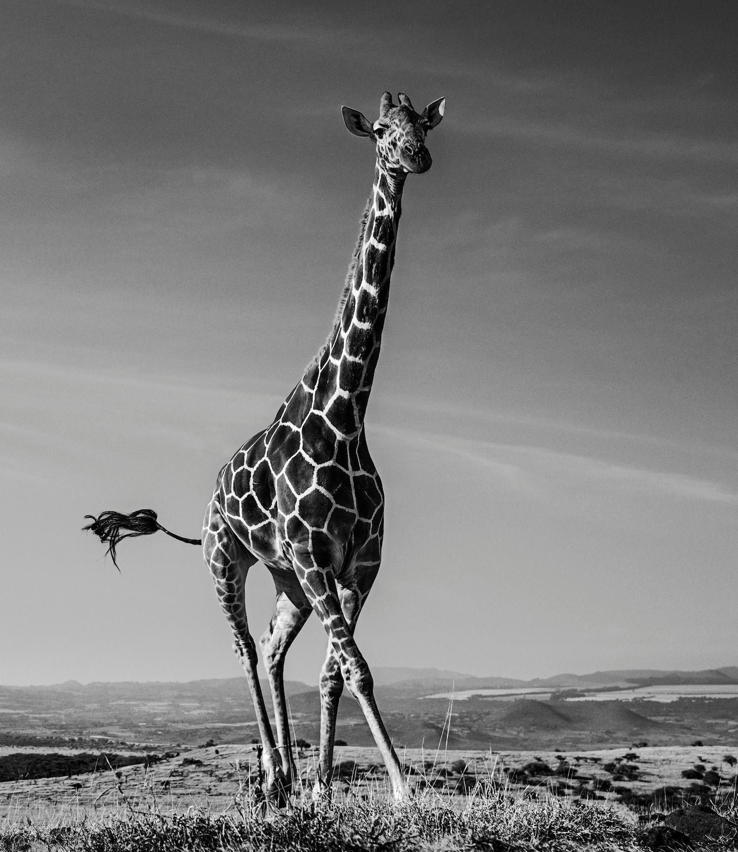 The Dancing Giraffe, Black and White Animal Photography