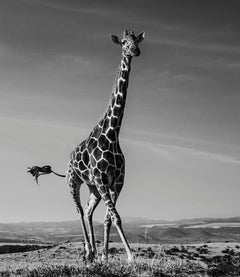 The Dancing Giraffe, Black and White Animal Photography