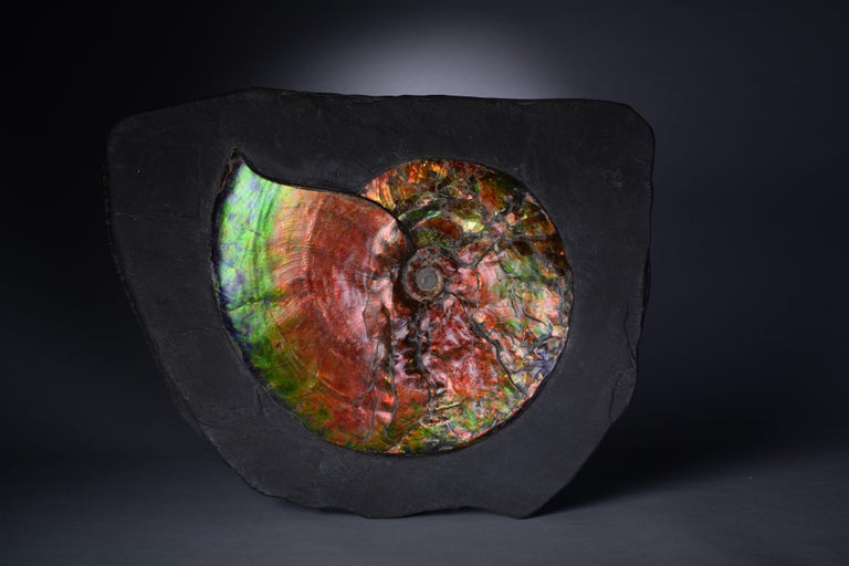 Dazzling Opalescent Ammonite Fossil For Sale 2