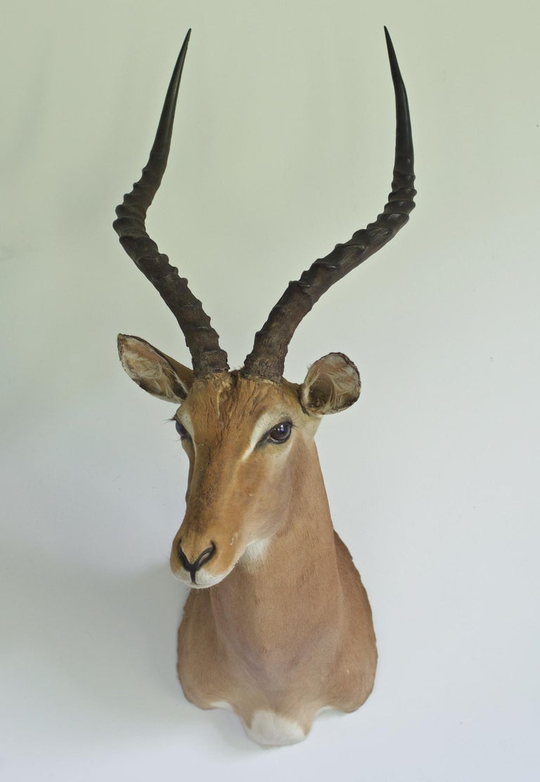 A good looking and nice quality taxidermy mount of an African Antelope. In certain rooms the design just commands this vibrant and life texture to take it to the next level of style. Try it out, be wild and free.