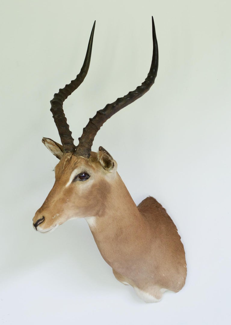 Bohemian Decorative African Antelope Taxidermy Mount For Sale