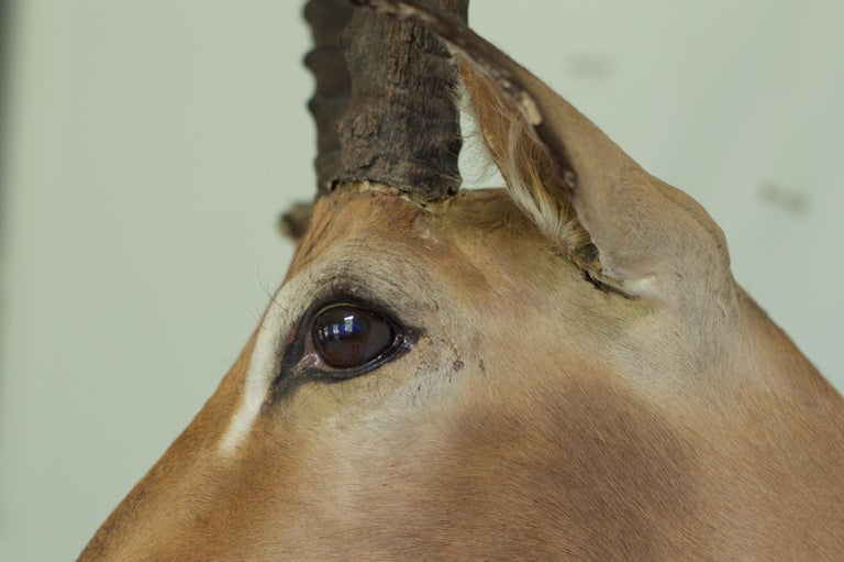 South African Decorative African Antelope Taxidermy Mount For Sale