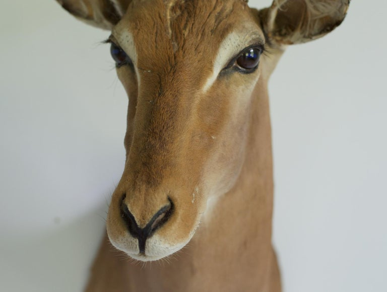 Decorative African Antelope Taxidermy Mount In Good Condition For Sale In Charlottesville, VA