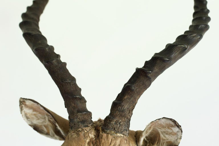 20th Century Decorative African Antelope Taxidermy Mount For Sale