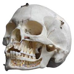 Demonstration Human Skull