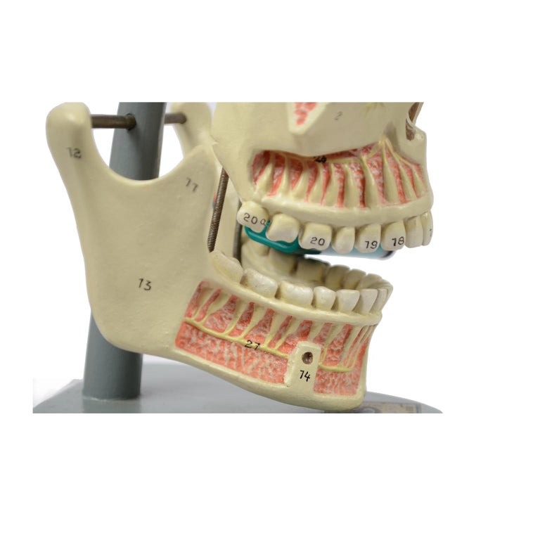Didactic Anatomic Model of Mandible and Jaw Made in the 1950s For Sale 6