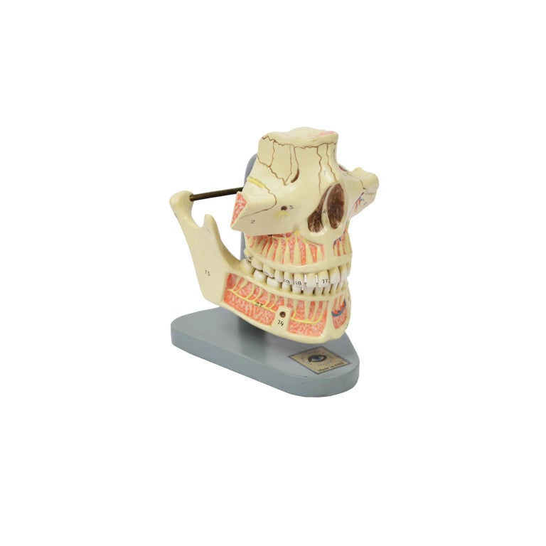 Anatomic model of a mandible and a complete jaw of the lower and upper dental arch made in ??the 1950s, made of hand-colored cellon and mounted on a bakelite base. The jaw, which is a fixed bone, is fixed to the jaw by a spring which allows to show