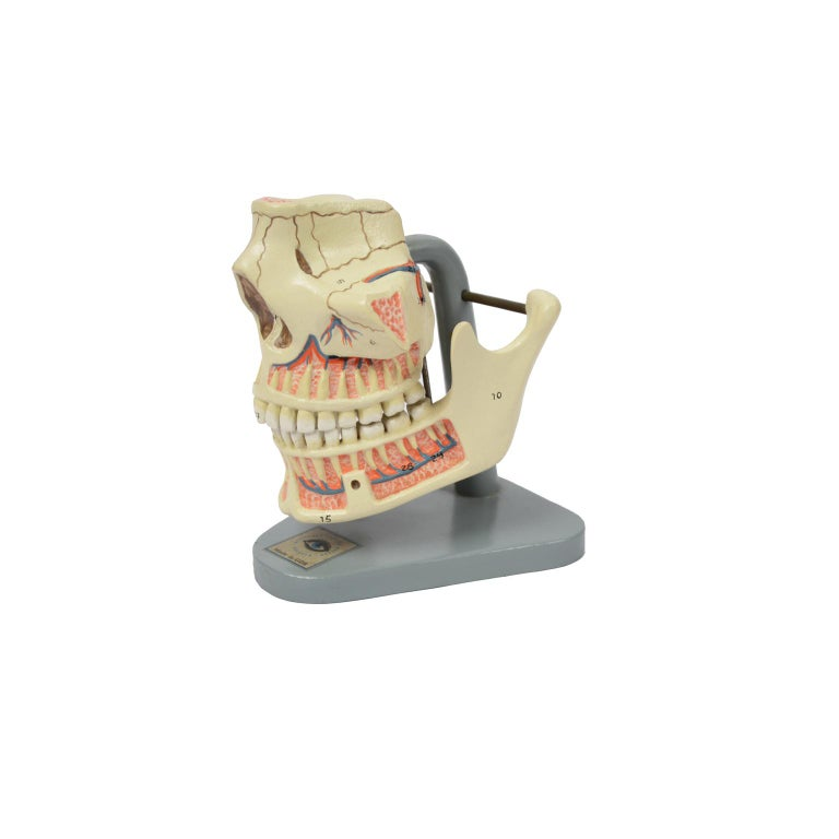 Mid-20th Century Didactic Anatomic Model of Mandible and Jaw Made in the 1950s For Sale