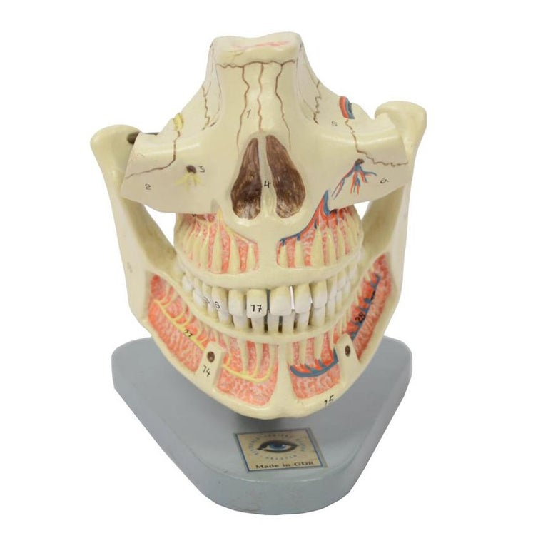 Didactic Anatomic Model of Mandible and Jaw Made in the 1950s For Sale