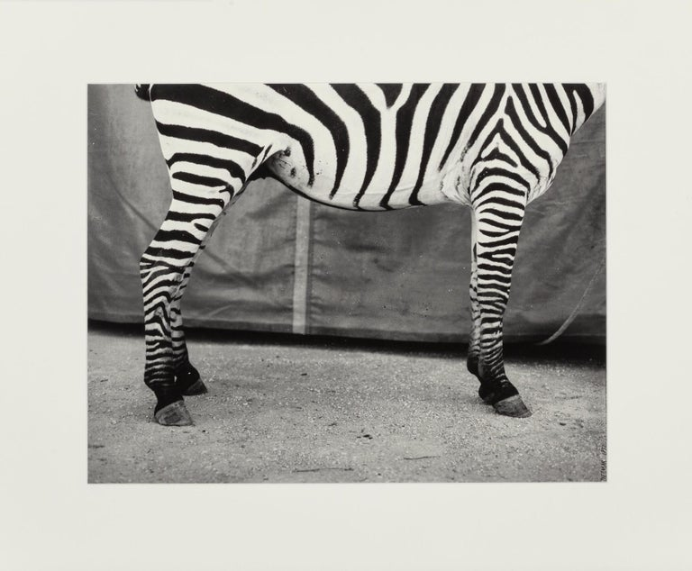 Untitled (Zebra), Silver Gelatin Print, Dietmar Busse, Contemporary Photography For Sale 1