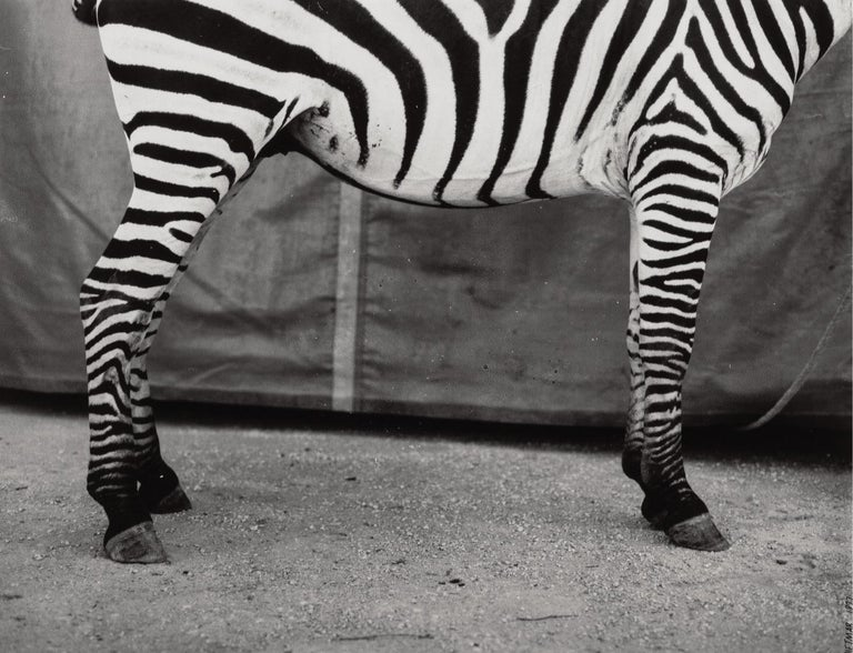 Dietmar Busse (German/American, 20th Century) Untitled (Zebra), 1997 Gelatin silver 13-3/4 x 18 inches (34.9 x 45.7 cm) Signed and dated in ink on recto.  Artist's Biography: Dietmar Busse (b. 1966) lives and works in New York.  He was born in