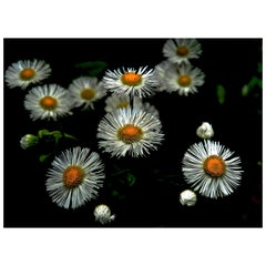 Tiny Daisy Flowers Digital Photographic Print by Dave Lasker