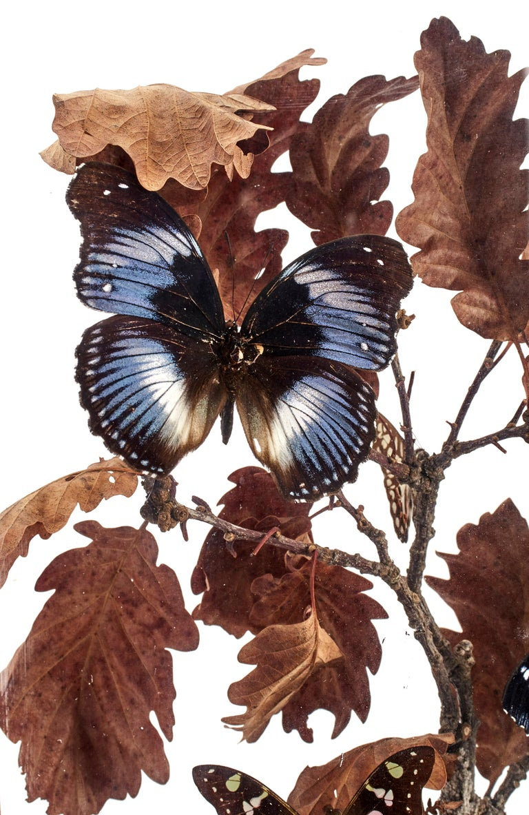 A Diorama with natural Wunderkammer Specimens of butterflies. The Specimens are mounted in a pottery vase inside a brown painted wooden showcase with glasses, leaned over oak tree branches, Italy, circa 1870.