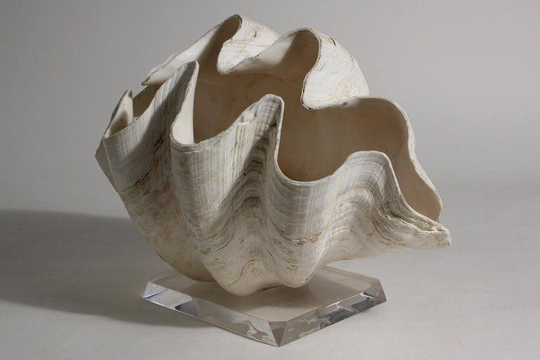Double Matching Tridacna Gigas Clam Shell on Lucite Base Nautical Sculpture In Excellent Condition For Sale In San Diego, CA
