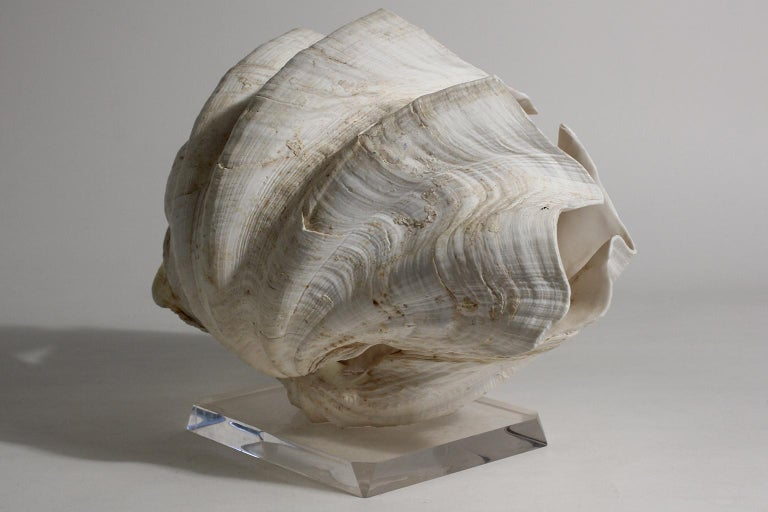 Double Matching Tridacna Gigas Clam Shell on Lucite Base Nautical Sculpture For Sale 1