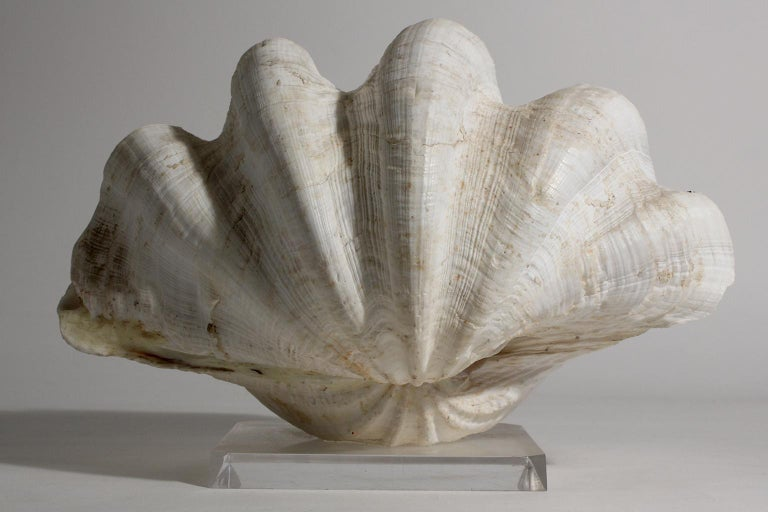 Double Matching Tridacna Gigas Clam Shell on Lucite Base Nautical Sculpture For Sale 2