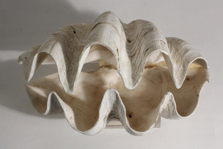 Double Matching Tridacna Gigas Clam Shell on Lucite Base Nautical Sculpture For Sale 3