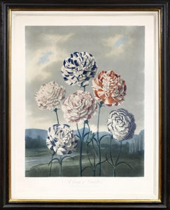 Thornton, Group of Carnations, Aquatint finished by hand, 1799