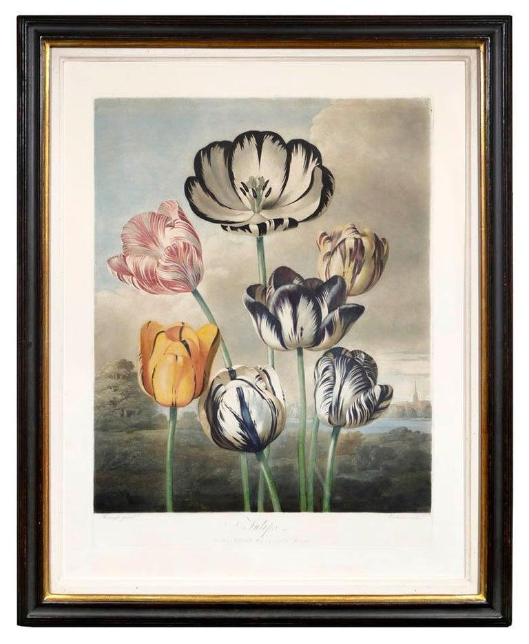 Dr. Robert John Thornton Still-Life Print - THORNTON. The Tulips.