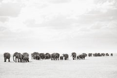 Large Group of Elephants Walking in Kenya, Horizontal, Wild Animals
