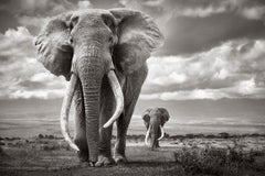 Two Iconic, Large Elephants Walking Across Amboseli National Park, Wildlife