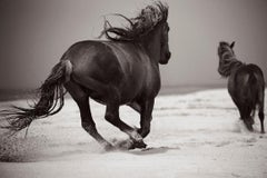 Two Wild Horses Running on the Beach of Sable Island, Horizontal, Equestrian