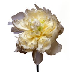 Duchess De Nemours Peony by Michael Zeppetello