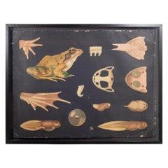 Dutch School House Science Class Scroll of Frog Anatomy, c.1930-1950