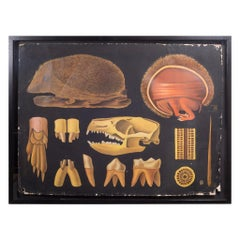Dutch School House Science Class Scroll of Hedgehog Anatomy, c.1930-1950