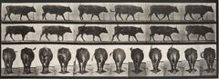 Animal Locomotion: 671 (Ox Walking), 1887