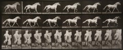Animal Locomotion: Plate 596 (Horse Cantering), 1887