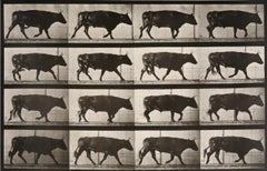 Animal Locomotion: Plate 672 (Ox Walking), 1887