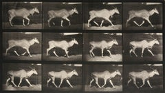 Animal Locomotion: Plate 696 (Eland Walking), 1887