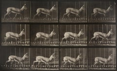Animal Locomotion: Plate 697 (Antelope Trotting), 1887