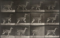 Animal Locomotion: Plate 743 (Llama Galloping), 1887