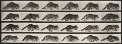 Animal Locomotion: Plate 744 (Raccoon Walking), 1887