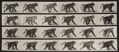 Animal Locomotion: Plate 748 (Baboon Walking on Four Legs), 1887