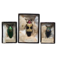 Early 20th Century Collection of 44 Cased Museum Entomology Beetle Specimens