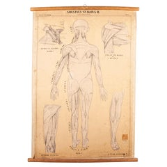 Early 20th Century Czechoslovakian Educational Muscular System Chart