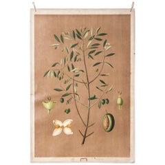 Early 20th Century Educational Chart, Rigid Chart, Olive Tree