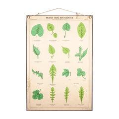 Early 20th Century Educational Chart, Rigid Chart Plant, Leaf Varieties