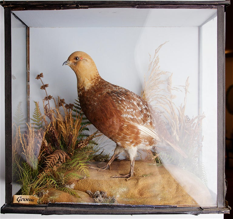 Well-mounted taxidermy grouse, early 20th century.