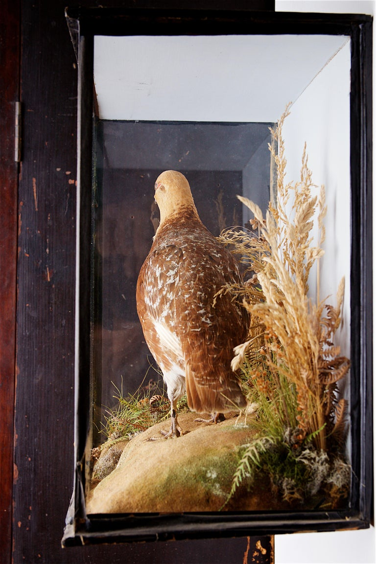 Early 20th Century Taxidermy Grouse In Good Condition For Sale In Stratford upon Avon, GB