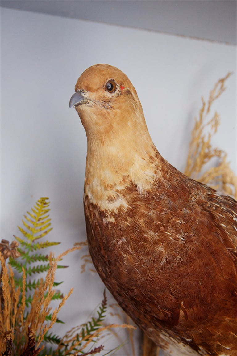 Early 20th Century Taxidermy Grouse For Sale 2