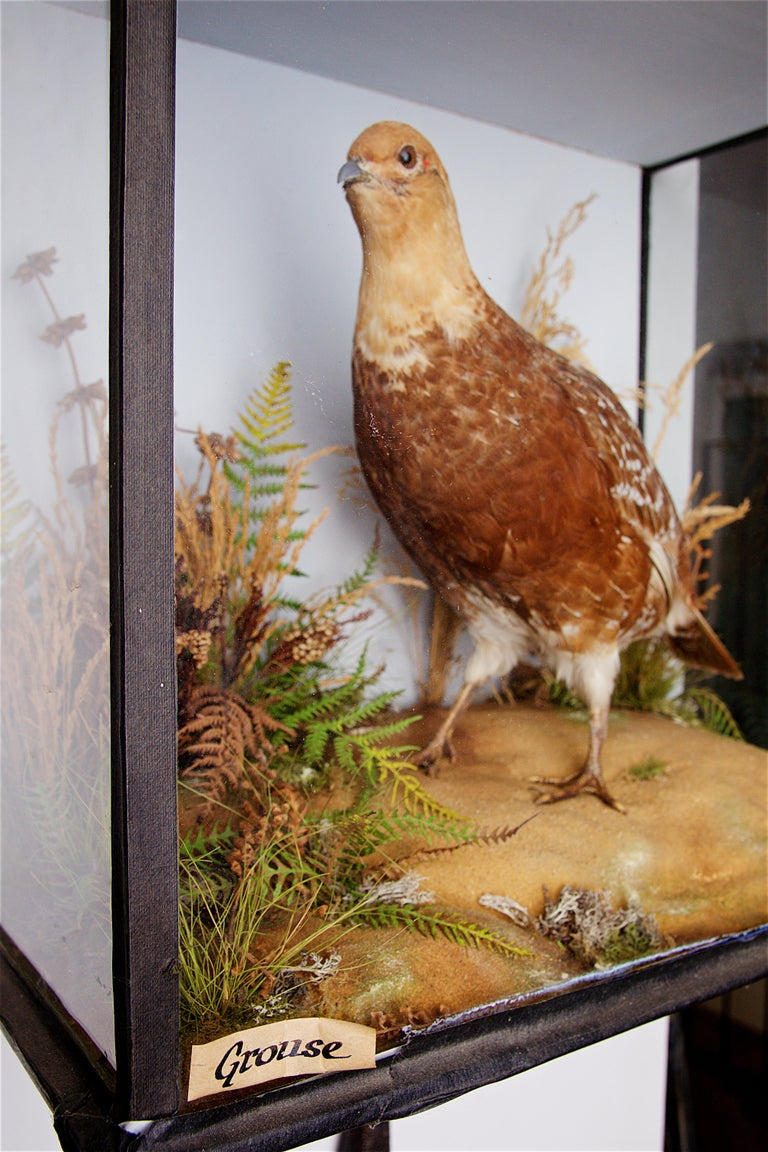 Early 20th Century Taxidermy Grouse For Sale 3