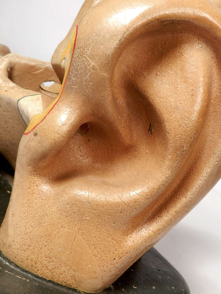 American Early Anatomical Model of the Ear For Sale