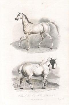 Horses, Antique French Natural History engraving, circa 1840