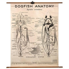 Educational Zoological Dogfish Anatomy Chart by New York Scientific Co.