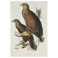"Edward Lear Lithograph from ""The Birds of Europe"""