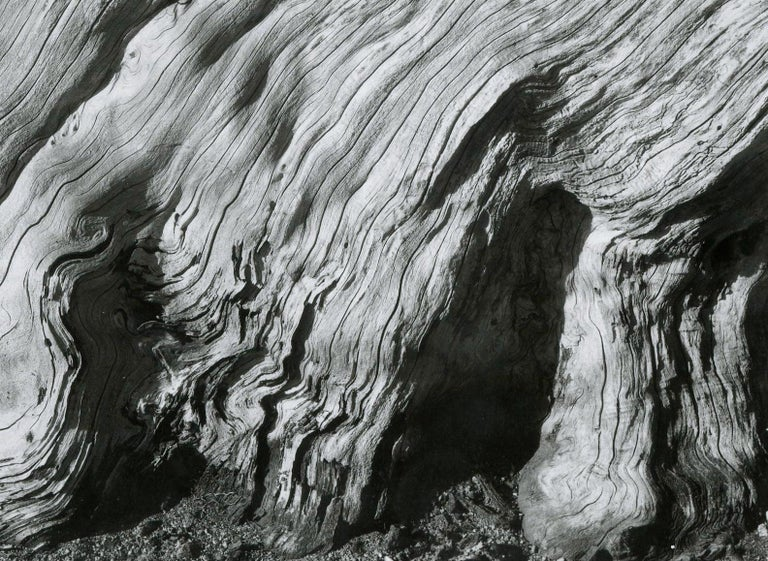 EDWARD WESTON 1886 - 1958 Cypress Root and Succulents